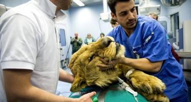 Medici italiani salvano un leone con un robot chirurgico