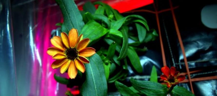 Nasce il primo fiore nello Spazio sulla ISS