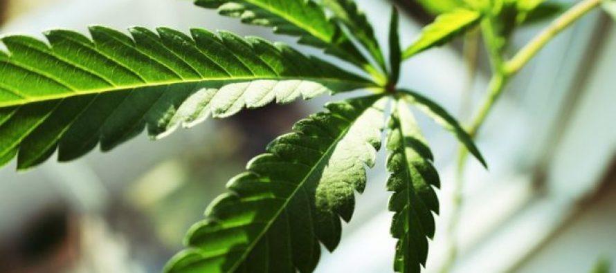 Cannabis medicinale: l'Australia punta a diventare il principale esportatore