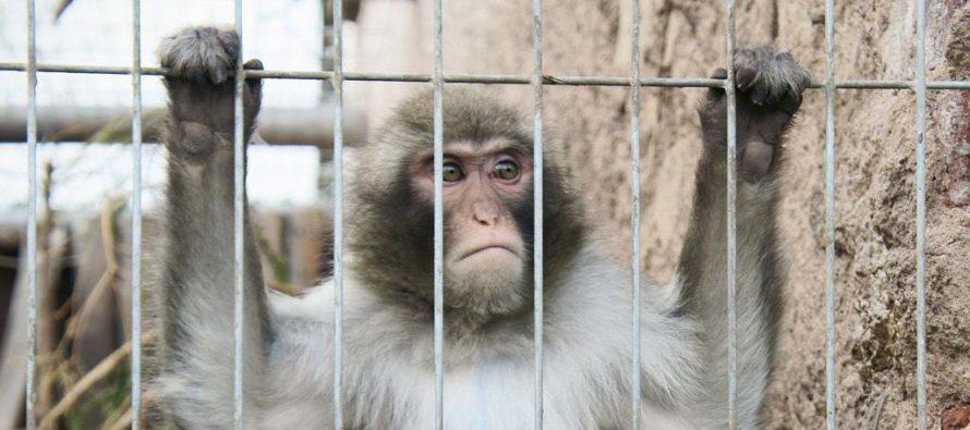 Germania. Test Volkswagen sugli esseri umani e scimmie