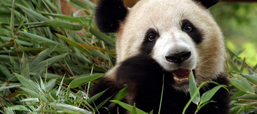 Il Panda gigante. Storia, origine, alimentazione e socialità