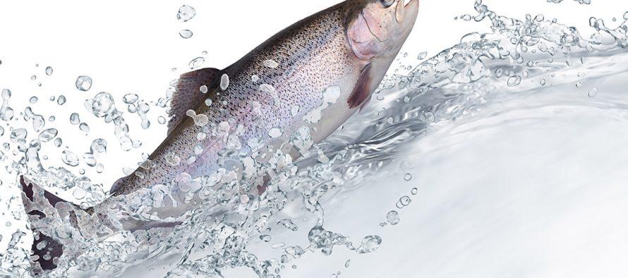 """Fuggono 690 mila salmoni da una riserva in Cile: """"Sono pericolosi per l'uomo"""""""