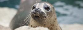 Caccia alla foca. Eschimesi la difendono con un barbecue